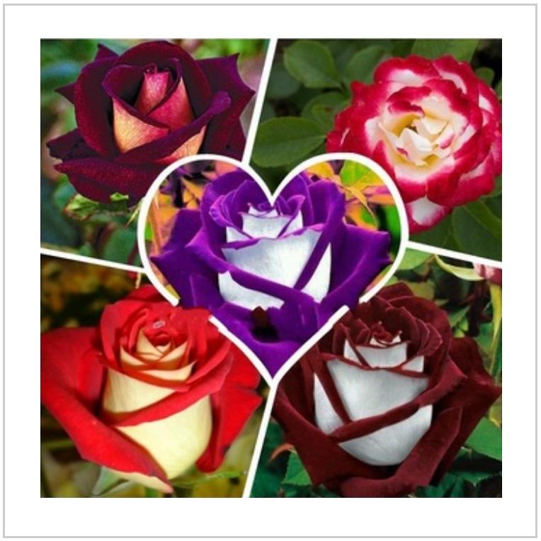 Semena - růže (5 x 100 ks) / AT-00632