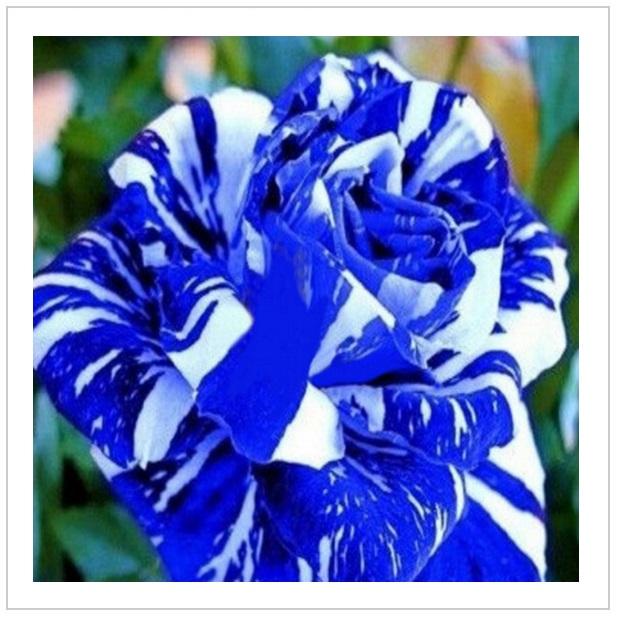 Semena - Růže modrý drak (50 ks) / tnk-13-00980