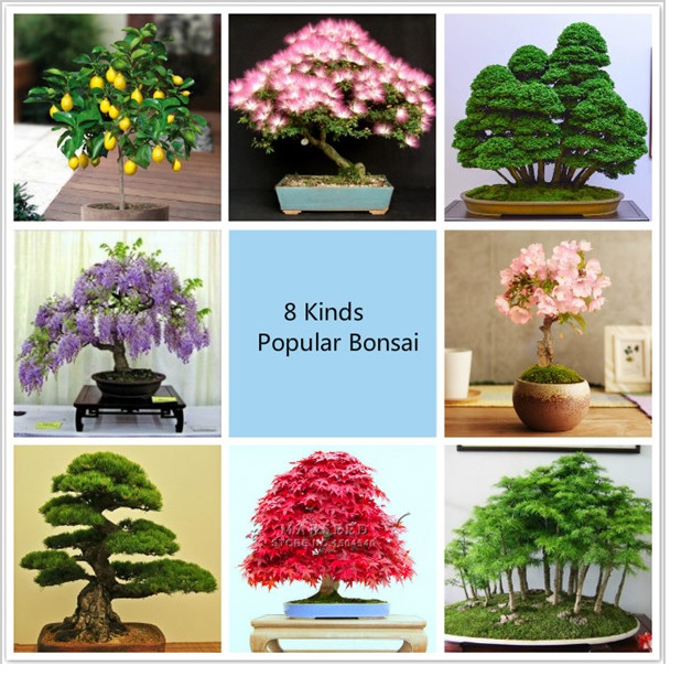 Semena 8 druhů bonsaí (240 ks) / AS1-00072cc