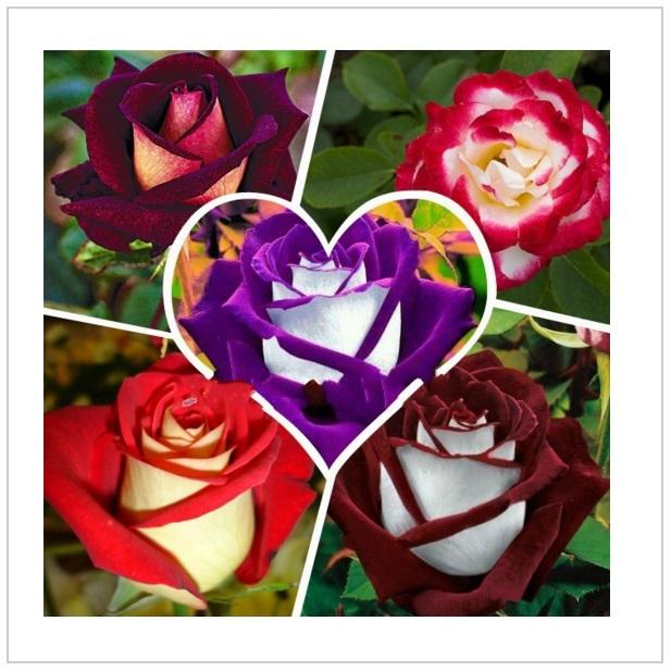 Semena růže (100 ks) / tnk-13-00979